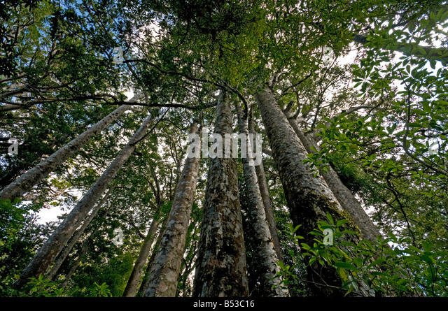 Kauri trees in the Waipoua Kauri Forest, North Island, New Zealand - Stock Image