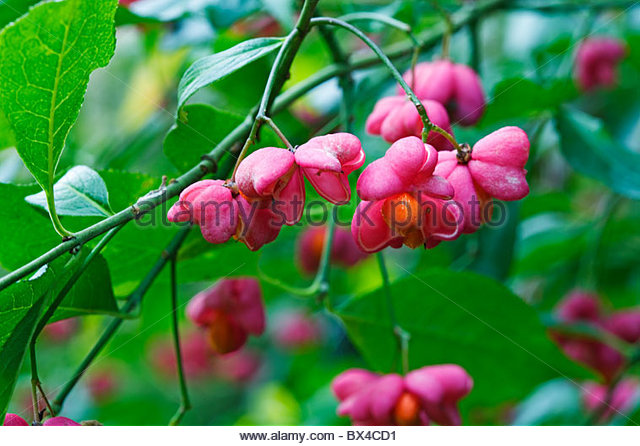 Euonymus europaeus - Spindle tree - Stock Image