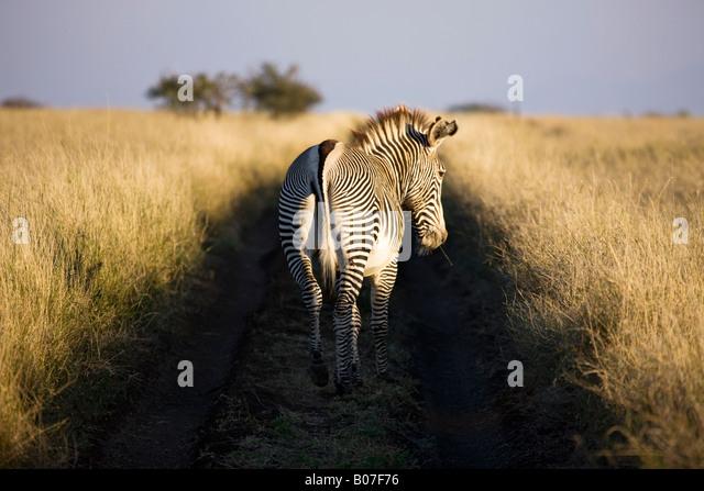 Grevy's zebra, Lewa Wildlife Conservancy, Kenya - Stock-Bilder