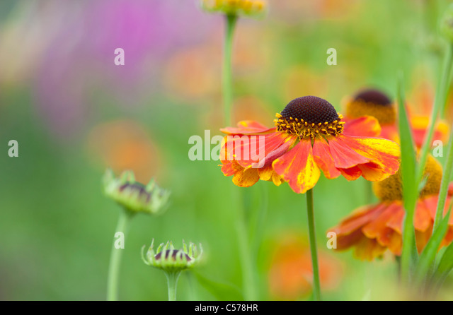 Helenium 'sahin's early flowerer'. Sneezeweed flower - Stock Image
