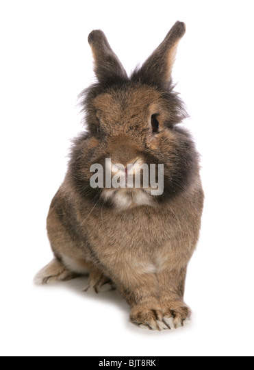 Domestic Rabbit Portrait of single adult Studio, UK - Stock Image