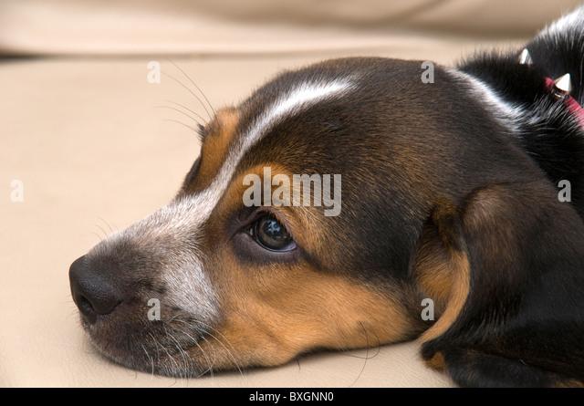 Cute Beagle Laying Down Stock Photos Amp Cute Beagle Laying