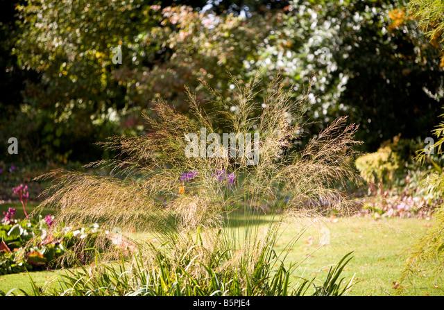 molinia Caerulea transparent - Stock Image