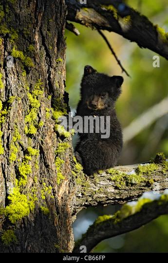 Tiny Bear Cub on Tree Branch - Stock Image