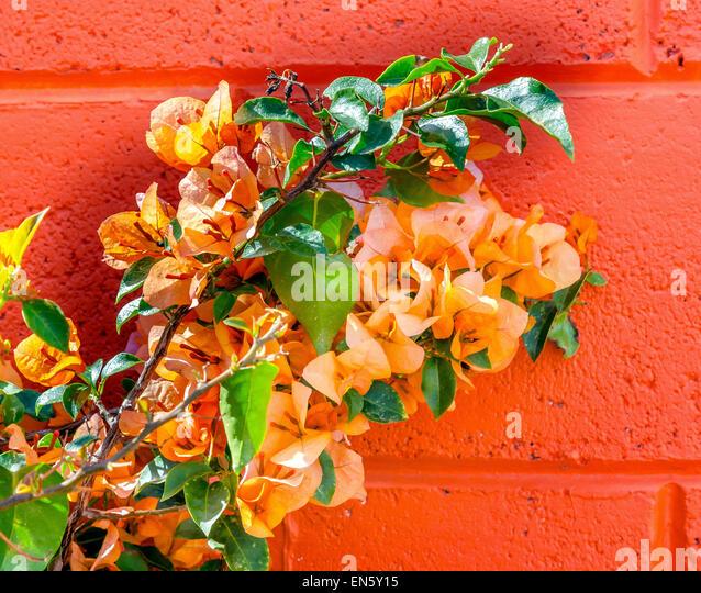 Orange Bougainvillea Orange Wall Mexico City Mexico - Stock Image