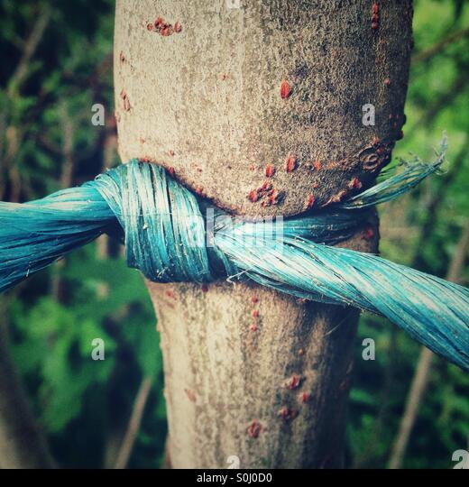 A plastic string tied around a tree with a knot has grown in - Stock-Bilder