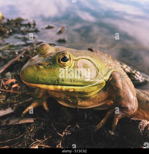 Big Frog - Stock Image