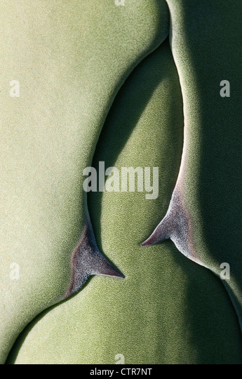 Agave americana, Agave, Green. - Stock Image