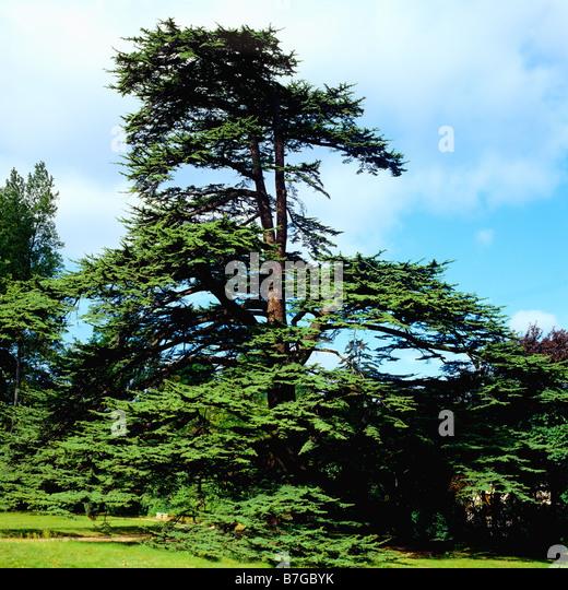 Cedar tree planted by Josephine de Beauharnais in 1800 in park of Chateau de la Malmaison castle France - Stock Image