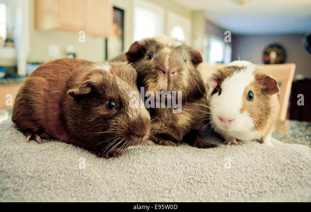 Guinea pigs close up. - Stock Image