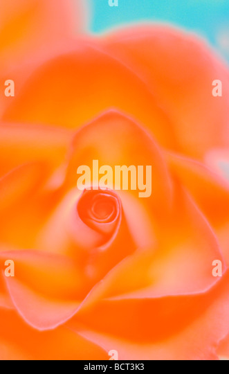 close up of rose bursting with colour fine art photography Jane Ann Butler Photography JABP350 - Stock Image