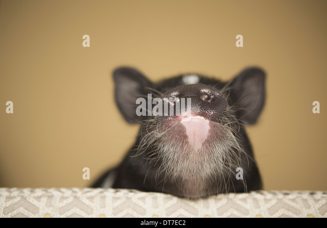 A small pig peering over the edge of a bed in a domestic house Austin Texas USA - Stock Image