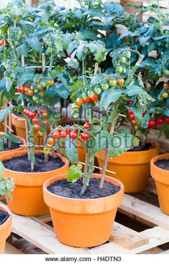 cherry tomato plant in pot wwwimgkidcom the image