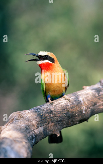 White-fronted Bee-Eater (Merops bullockoides) Perched on a Branch - Stock Image