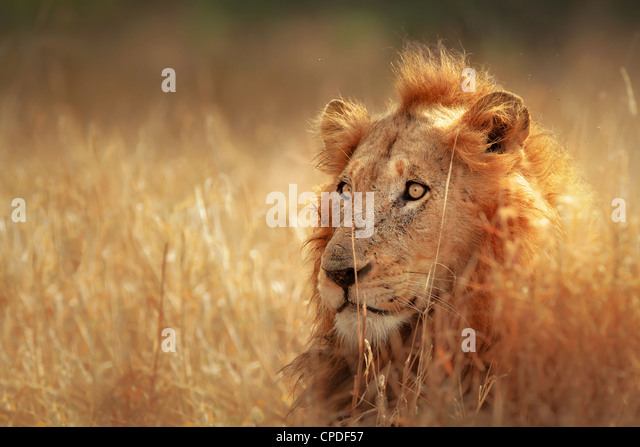 Big male lion lying in dense grassland - Kruger National Park - South Africa - Stock Image