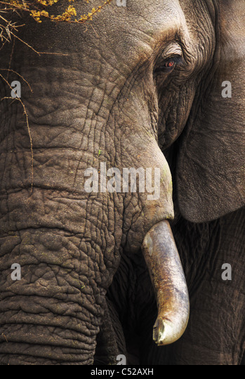 Close-up of an African Elephant - Loxodonta Africana - Kruger National Park - South Africa - Stock Image