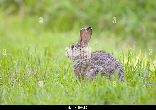 Common Rabbit 'Oryctolagus cuniculus' - Stock Image