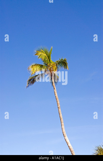 Single coconut palm tree against blue sky - Stock Image
