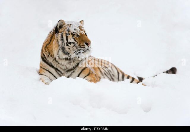 Siberian Tiger or Amur Tiger (Panthera tigris altaica), lying in the snow, captive, Saxony, Germany - Stock Image