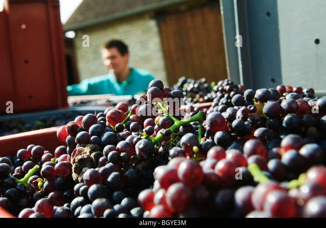 Grapes freshly harvested, worker in background - Stock Image