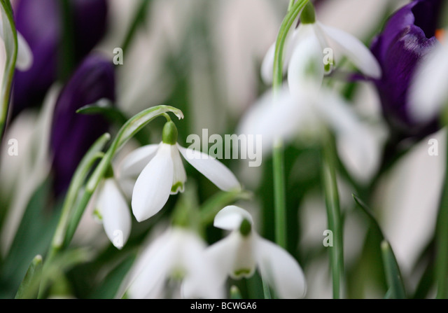 collection of snowdrops and crocuses traditionally the first spring flowering bulbs fine art Jane Ann Butler Photography - Stock Image
