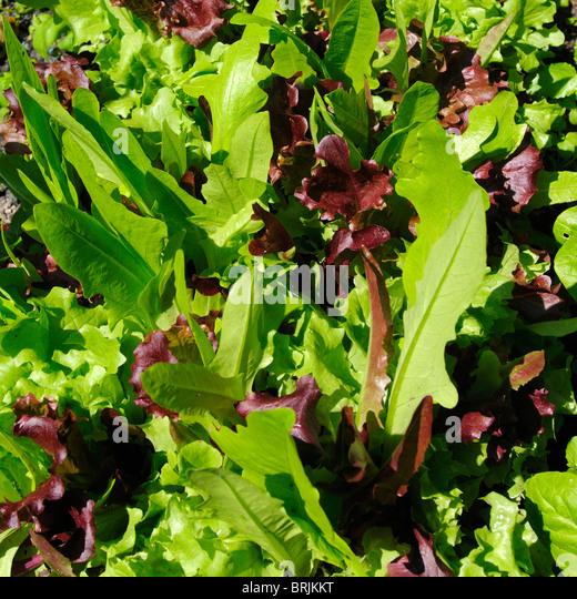 Fresh lettuce leaves in sunlight - Stock Image