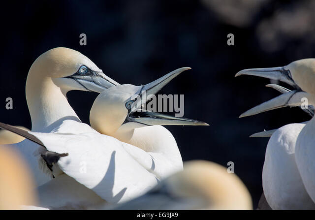 Northern gannet. Bass Rock, Scotland, UK - Stock Image