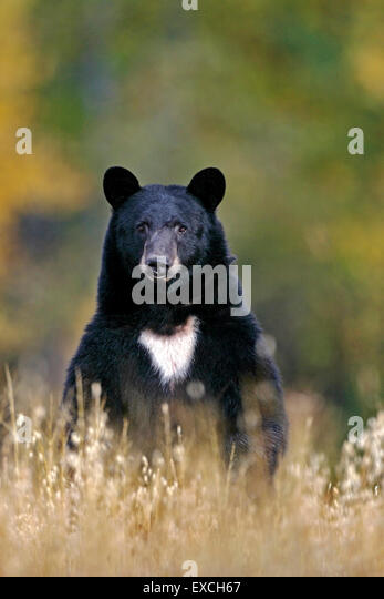 Big Black Bear searching for Food in meadow - Stock Image