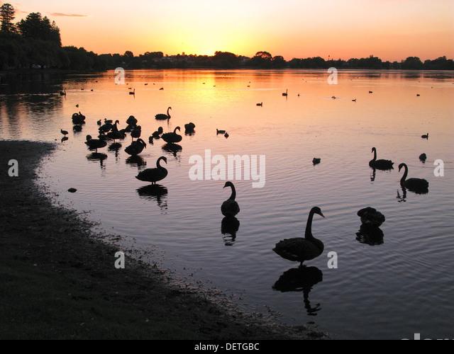 Waterfowl at sunset at Lake Monger in Perth, Western Australia. - Stock-Bilder