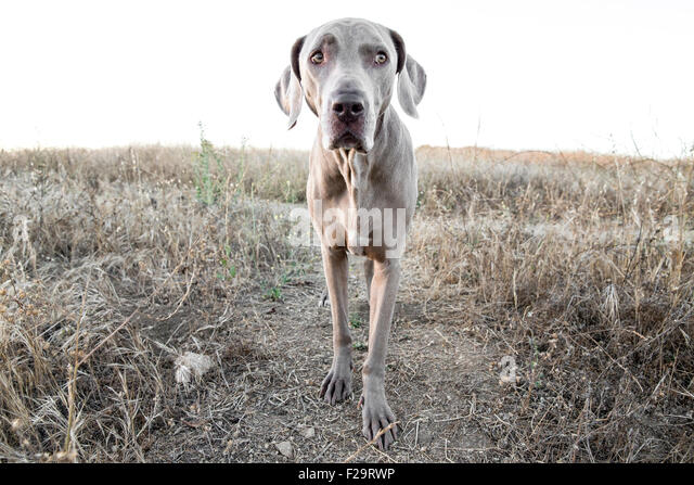 Weimaraner dog facing camera standing on path in dry barren grassy field observing - Stock Image