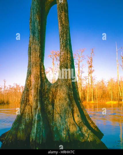 Hole in bald cyporess tree, Okenfenokee Swamp National wildflie Refuge, Georgia Okefenokee Swamp Wilderness Taxodium - Stock-Bilder