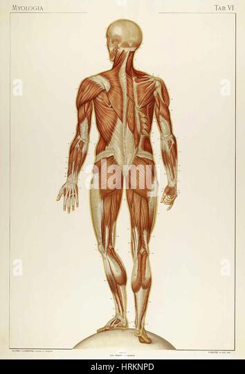 Historical Anatomical Illustration - Stock Image