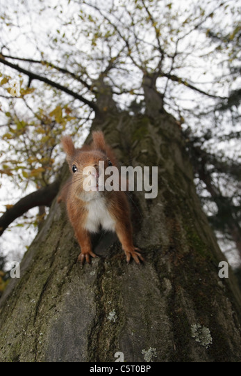 Germany, Munich, Close up of european red squirrel on tree - Stock Image