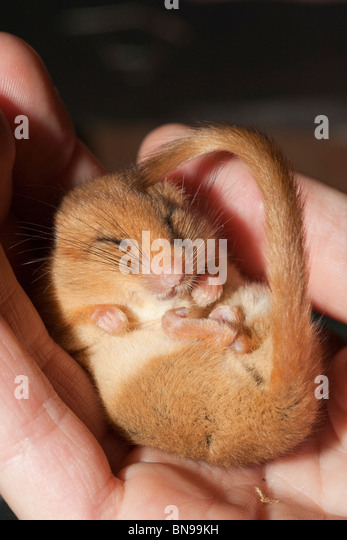 Torpid dormouse, near Ruthin, North Wales. - Stock Image