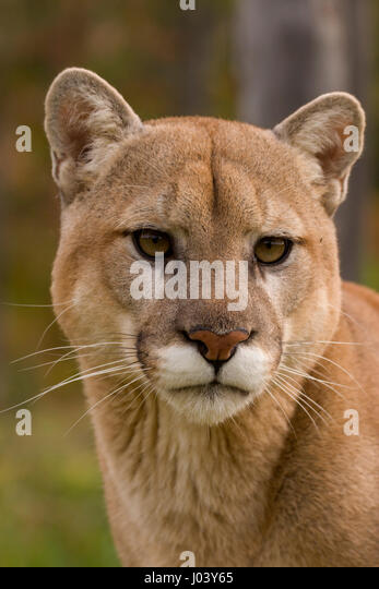 canadensis cougar women Woman may have spotted suspect in  he was about eight miles southeast of where authorities have been heavily searching — the canadensis.