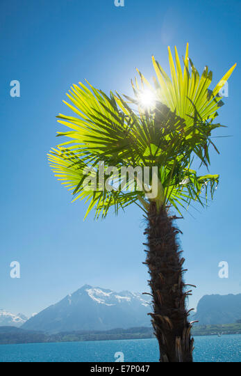 Lake Thun, palm, Lake Thun, spring, canton Bern, lake, lakes, tree, trees, Switzerland, Europe, - Stock Image