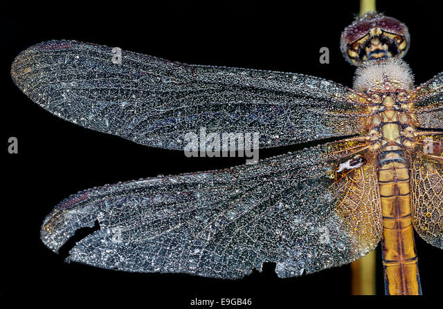 Dragonfly Dew, Singapore - Stock Image