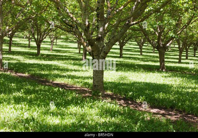 Orchard, Dordogne; France - Stock Image
