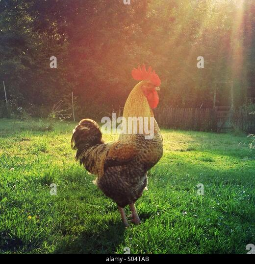 Make chicken rooster cock in late afternoon sun on free-range poultry farm - Stock Image