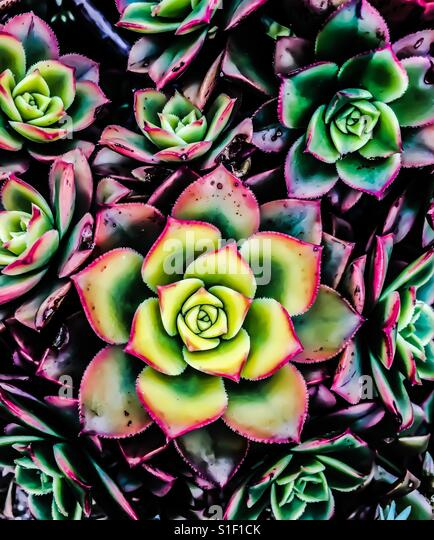 Colorful succulent - Stock-Bilder
