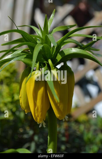 garden center flower, close up, yellow and green contrasting - Stock Image