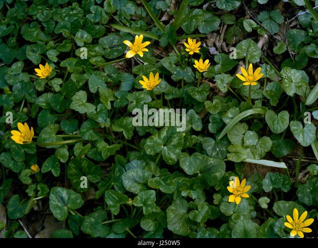 Lesser celandine in Cambridgeshire wood - Stock Image