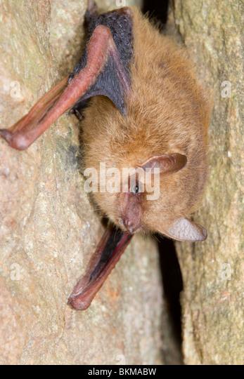 Tri-colored bat, or eastern pipistrelle (Pipistrellus [Perimyotis] subflavus). - Stock Image