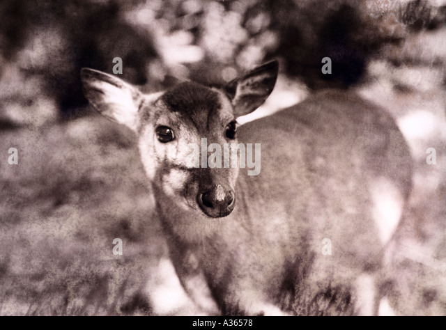 deer - Stock Image