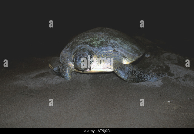 Costa Rica Tortuguero green sea turtle returning to caribbean after nesting covered in dark sand - Stock Image