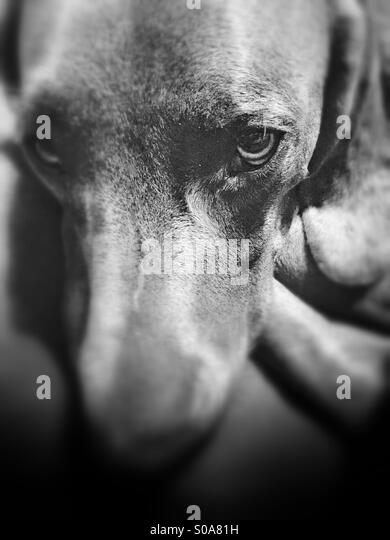 Blurred black and white photo of a young Weimaraner dog with a sad and soulful look on its face - Stock Image