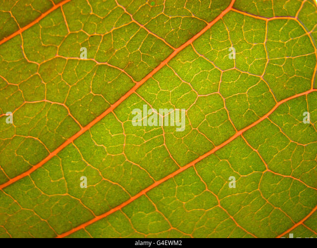 Leaf Veins - Stock Image