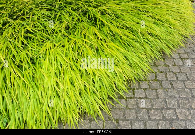 Hakonechloa stock photos hakonechloa stock images alamy for Yellow ornamental grass