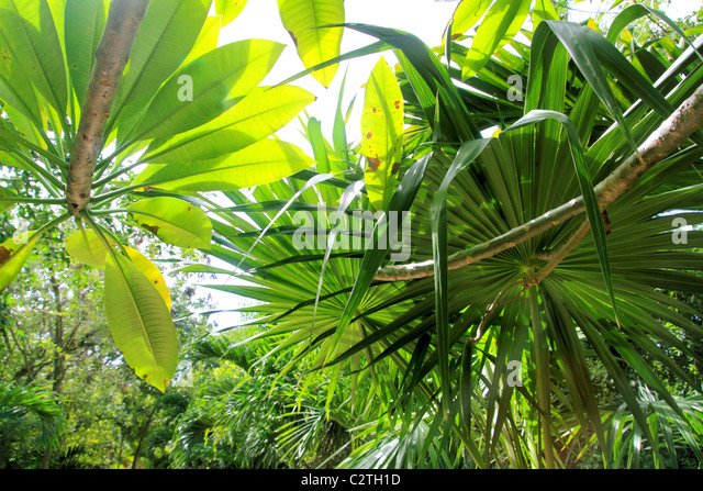 jungle rainforest atmosphere green background central America - Stock Image