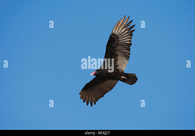 Turkey Vulture (Cathartes aura), adult in flight, Sinton, Corpus Christi, Coastal Bend, Texas, USA - Stock Image